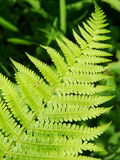 Green ferns Stock Image