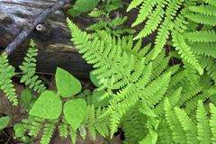 Free Green Ferns Stock Photography - 9987912