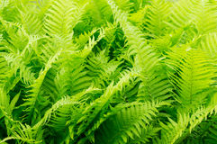 Green ferns. Background of many green ferns stock images