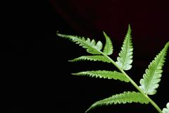 Green ferns in a beautiful natural black background. royalty free stock images
