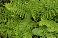 Green ferns Royalty Free Stock Photos
