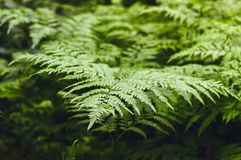 Green ferns in the coniferous forest.  Royalty Free Stock Photos