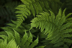 Green ferns on a dark background. Royalty Free Stock Photos
