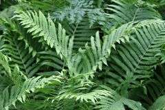 Green Ferns with Fonds In  Garden Royalty Free Stock Photos