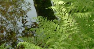 Green ferns on the forest 4K FS700 Odyssey 7Q. Green large ferns on the forest 4K FS700 Odyssey 7Q stock video footage