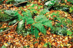 Green ferns in the forest. Green forest ferns and moss mixed with fall leaves and rocks Stock Image