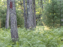 Green ferns in forest Stock Photography