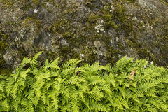 Green ferns growing against rock face Royalty Free Stock Image