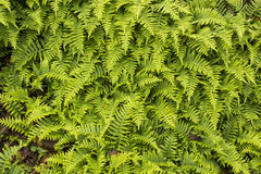 Green ferns growing in against rock face Stock Image