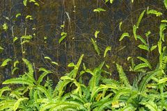 Green ferns and moss cover on old wall Royalty Free Stock Photography