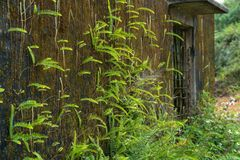 Green ferns and moss cover on old wall Stock Image