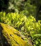 Green Ferns and Moss. Lush green ferns and moss on a rock royalty free stock photo