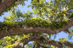 Green Ferns on Oak Limbs Royalty Free Stock Photo