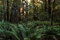 Green ferns among the trees on Avenue of the Giants, California, USA. royalty free stock image