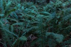 Green ferns among the trees on Avenue of the Giants, California, USA. stock photography