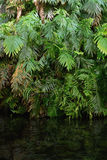 Green ferns in tropical forest. Hanging over water Royalty Free Stock Images