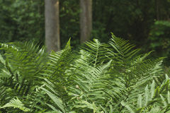 Green ferns. In a woodland royalty free stock photo