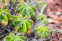 Green Ferocactus robustus plant in close-up at a tropical botanic garden. A green Ferocactus robustus plant in close-up at a tropical botanic garden royalty free stock photography