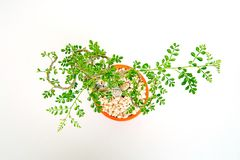 Feroniella lucida or mini bonsai in orange ceramic pot on a white background stock images