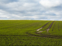 Green fertile field with blue skies. Tracks from the tractor Stock Photo