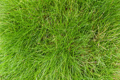 Green fescue leaves (Festuca gautieri) background Stock Photo