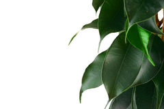 Green ficus Stock Photos