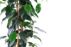 Green ficus Stock Image