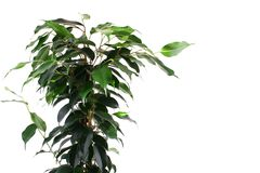 Green ficus Royalty Free Stock Photos