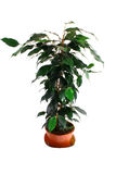 Green ficus Royalty Free Stock Photo