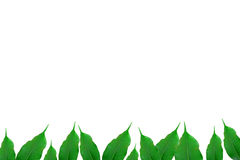 Green ficus Stock Photography