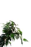 Green ficus Royalty Free Stock Photography