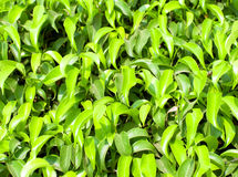 Green ficus leaves Stock Image