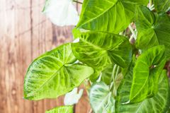 Green ficus leaves on a wooden wall background royalty free stock image