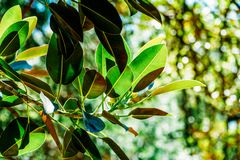 Green Ficus Platypoda Leaves Stock Images