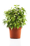 Green ficus in a pot Royalty Free Stock Photos