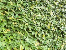 Green Ficus pumila. A photo of green Ficus pumila & x28;creeping fig or climbing fig& x29; is are very small leaves of the plant climbing on the wall. A species Stock Photo