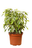 Green ficus tree Stock Image