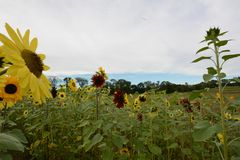 Field of yellow and red sunflowers underneath a cloudy sky in early fall. Green fiel, blue sky in distance, near the town border of Groton ad LItleton, Middlesex stock photo