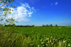 Green Field. A green field with a bright blue sky and clouds Royalty Free Stock Photography