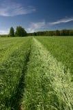 Green field. Growing oats. A green field under the dark blue sky Stock Photography