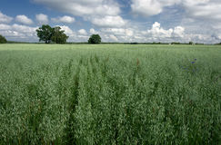 Green field. Of oats and the dark blue sky Royalty Free Stock Images
