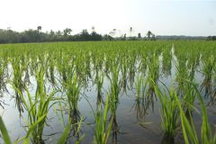 Great Green field farmer indonesia royalty free stock photo