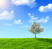Green field. And flowering tree on a background of the blue sky Royalty Free Stock Photo