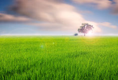 Green Field. And Tree with Dramatic Cloud Royalty Free Stock Images