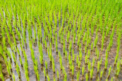 Green Field. In Chiang Mai, Thailand Royalty Free Stock Photo