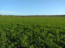 Green field. In Crimea, Ukraine Royalty Free Stock Image