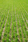 Green field. Green grain spring field agronomy farming agriculture wheat Royalty Free Stock Image