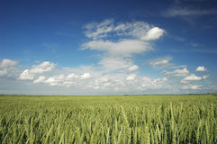 Green field. On a sky background Stock Images