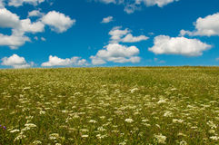 Green field. With blooming flowers and blue sky Stock Image