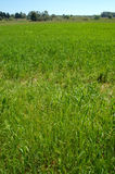 A green field. In a spring day Royalty Free Stock Photo